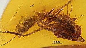 Dominican amber - Odontomachus spinifer