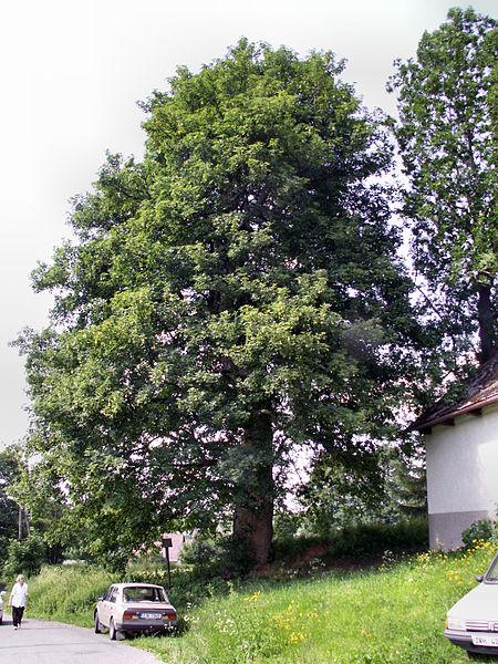 File:Odranec - památný javor klen.jpg