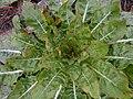 Oenothera biennis 2017-04-30 9192.jpg