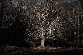 Old oak amongst many others in Femöre, Sweden.jpg