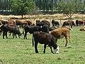 Olivar, vacas. - panoramio (3).jpg