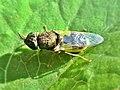 Oplodontha viridula (Stratiomyidae) - (female imago), Arnhem, the Netherlands.jpg
