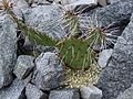Opuntia phaeacantha var. albispina.JPG