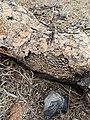 Opuntia sp. - Ground tissue II.jpg
