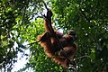 Orang Utan Sumatera Taman Nasional Gunung Leuser.jpg