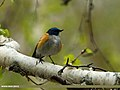 Orange-flanked Bush Robin (Tarsiger cyanurus) (24691022566).jpg