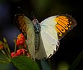 Orange and white Butterfly (7974426022).jpg