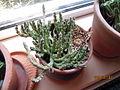 Orbea variegata (Stapelia) (3772565106).jpg