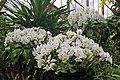 Orchids, Kew Gardens, Surrey - geograph.org.uk - 1177823.jpg