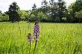 Orchis purpurea im NSG Essigberg.jpg