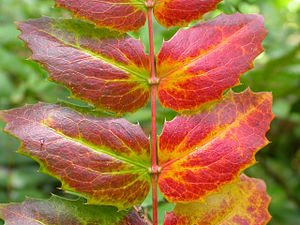 Plant senescence - The autumn senescence of Oregon Grape leaves is an example of programmed plant senescence.