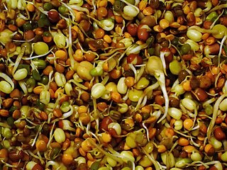 Sprouting practice of germinating seeds to be eaten raw or cooked