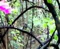 File:Oriental Magpie Robin (Copsychus saularis), Bangalore, India - 20070917.ogv