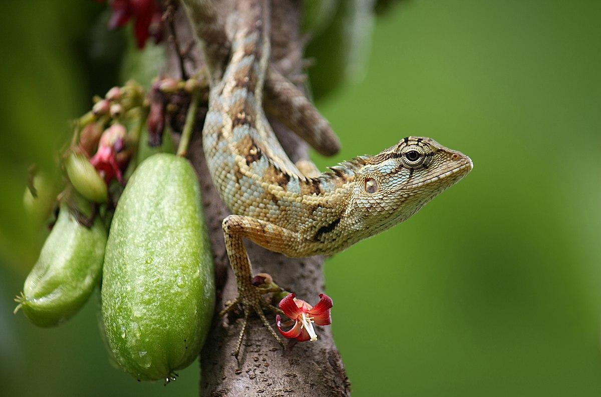 oriental garden lizard wikipedia