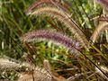 Ornamental Grass (3052146417).jpg