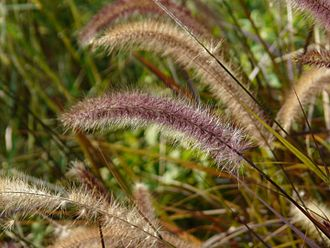 Ornamental grass - Crimson fountaingrass (Pennisetum setaceum)