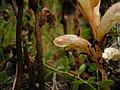 Orobanche alba inflorescence (57).jpg