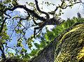Overhung branch (8049418657).jpg