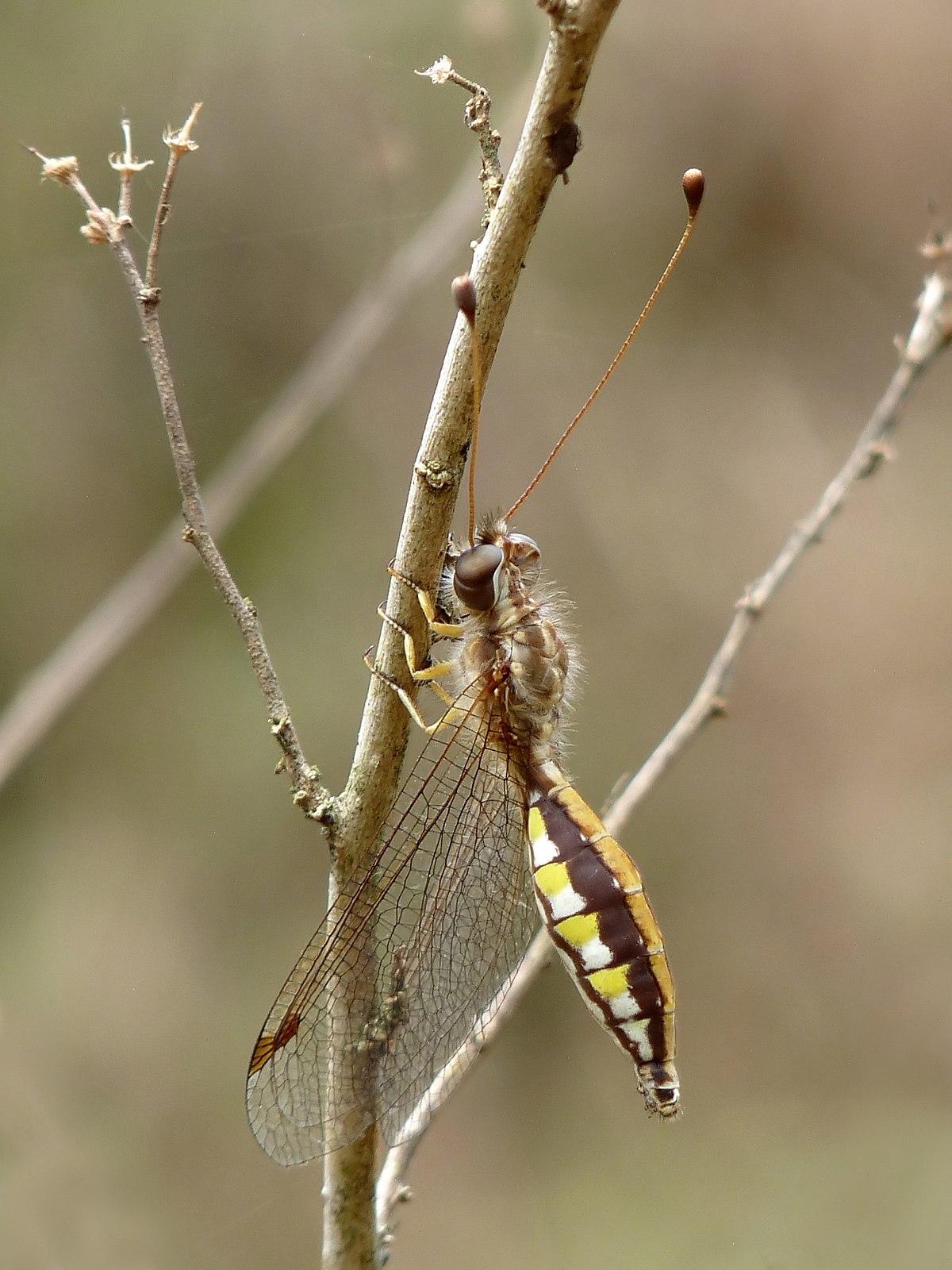 Ascalaphus Sinister Wikipedia