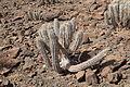 Pájara - Carretera Punto de Jandía - Euphorbia handiensis 24 ies.jpg