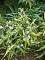 P1000314 Tradescantia virginiana (Virginia Spiderwort) (Commelinaceae) Plant.JPG