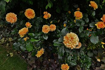 "PASHLEY MANOR GARDEN Rosa ""Amber Queen"".JPG"