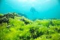 PMNM - Lisianski Algal Bloom On Bleached Coral (31356290765).jpg