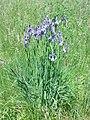PR Kamenný rybník 06 - kosatec sibiřský (Iris siberica) 05.JPG