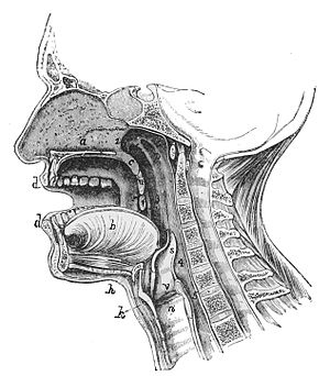 PSM V17 D620 Median antero posterior section of the human face.jpg