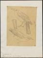 Pachycephala rufa - 1868 - Print - Iconographia Zoologica - Special Collections University of Amsterdam - UBA01 IZ16600361.tif