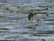 File:Pacific Golden-Plover redcliffe95.ogv