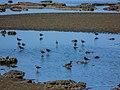 Pacific golden plover tidal strand Sandgate Brisbane Bramble Bay Queensland P1100386.jpg