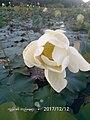 Padama Lotus 02.jpg
