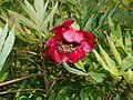 Paeonia delavayi 2016-05-20 0910.jpg