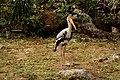 Painted stork - Mycteria leucocephala.jpg