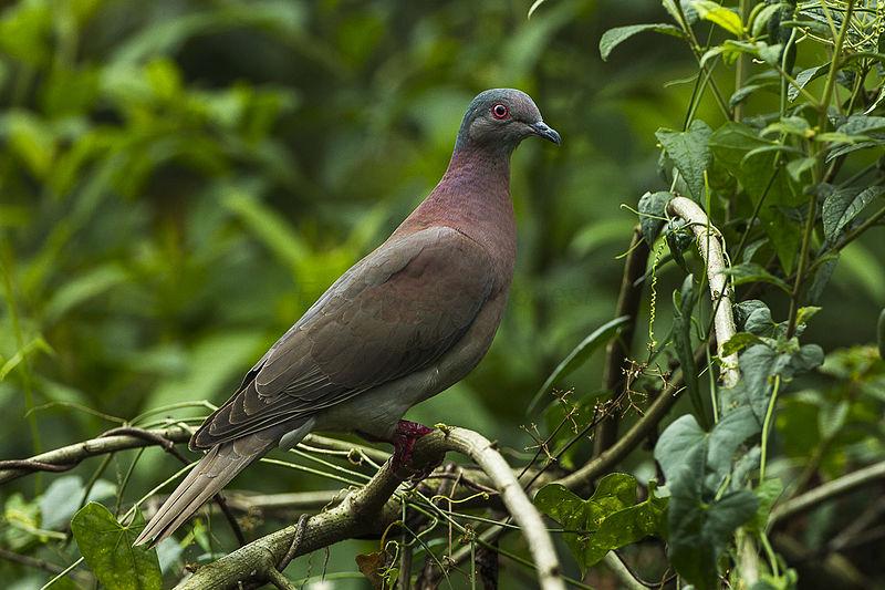 File:Pale-vented Pigeon -Sarapiqui - Costa Rica S4E0867 (26697349415).jpg