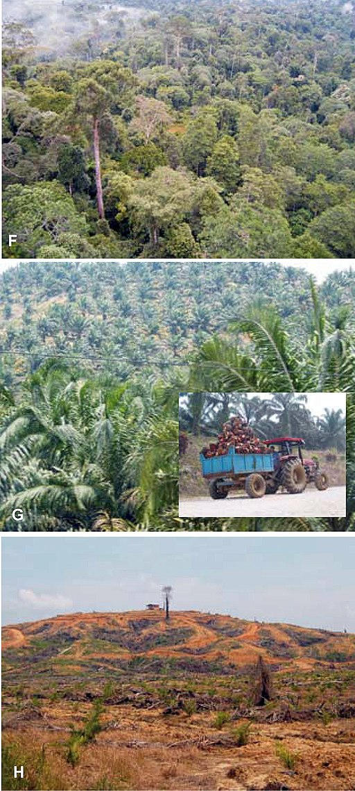 Borneo forest destroy for biofuel crop