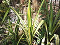 Pandanus sanderi-Lake park-3-yercaud-salem-India.JPG