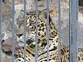 Panthera onca belem.jpg