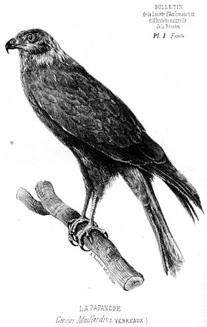 Drawing of a female Réunion Harrier (circus ma...
