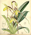 Paphiopedilum philippinense var. philippinense (as Cypripedium laevigatum) - Curtis' 91 (Ser. 3 no. 21) pl. 5508 (1865).jpg