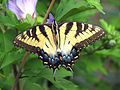 Papilio glaucus (female eastern tiger swallowtail butterfly) (Newark, Ohio, USA) (17064412419).jpg