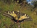 Papilio machaon (28449307894).jpg