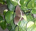 Papilio polytes - Taxila - Aug 2013.jpg