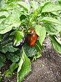 Paprika schwarz-gruen-rot.jpg