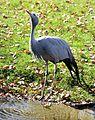 Paradieskranich Anthropoides paradisea Tierpark Hellabrunn-16.jpg