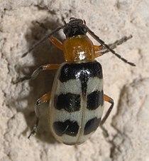 Paranapiacaba tricincta P1090366b.jpg