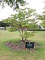 Paris - Jardin d'Acclimatation - Cornouiller tabulaire, planté en 2020.jpg