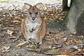 Parma Wallaby (Macropus parma).jpg