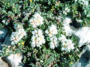 Caryophyllaceae - Paronychia argentea from the primitive Paronychioideae assemblage
